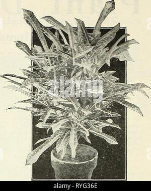 Dreer's wholesale price list : flower seeds for florists plants for florists bulbs for florists vegetable seeds fertilizers, fungicides, insecticides, implements, etc  dreerswholesalep1922henr Year: 1922  FANCY-LEAVED CALADIUMS (Offered on page 29)    Bougainvillea. Crimson Lake. Introduced through the Bureau of Plant Indus- try, of the Department of Agriculture, at Washington, D. C. It originally having been received from the Department of Science and Agriculture, Georgetown, Demerara, British Guiana, without specific or varietal name, it simply being labeled ' Crimson Bou- gainvillea.' Some  - Stock Photo
