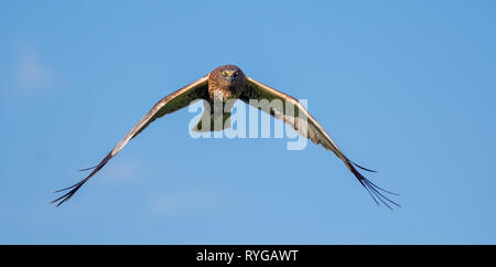 Male Western Marsh harrier full face in flight - Stock Photo