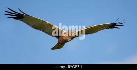 Male Western Marsh harrier in flight in blue sky - Stock Photo
