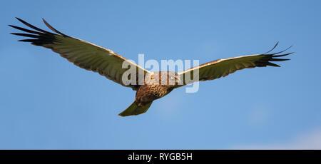 Male Western Marsh harrier in flight in blue sky Stock Photo