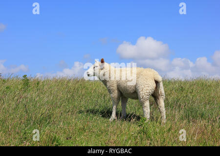 Young house sheep, Ovis orientalis aries - Stock Photo