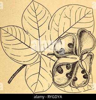 Edible and poisonous plants of the Caribbean region  ediblepoisonousp00dahl Year: 1944    46. Panama Tree Sterculia apetala The fruit of the Panama tree is formed like a large flower con- sisting of five large pods, each containing several seeds resem- bling chestnuts. These seeds may be eaten either raw or roasted. CAUTION: The inside of the pods is covered with stiff bristles that penetrate the skin easily and cause intense irritation. The tree is very large and is common in the lowland forests of the Caribbean region. Its leaves are light green and fuzzy on the underside^ its fruits are bro - Stock Photo