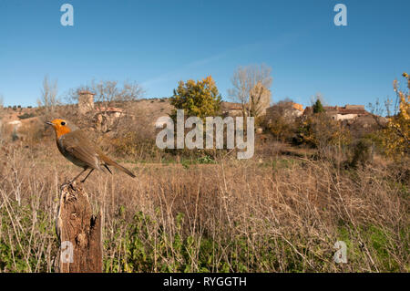 Robin - Erithacus rubecula, perched on a branch with landscape and habitat - Stock Photo