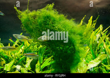 Hair or Thread Green Algae On Java Moss in a Tropical Freshwater Aquarium - Stock Photo