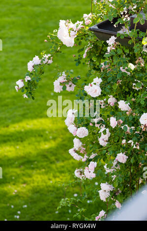 Pink flowers by lawn - Stock Photo