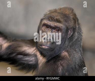 Adult female western lowland gorilla portrait - Stock Photo