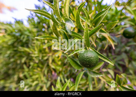 Unripe mandarins on tree branches. Japanese Oranges growing on green tree plants, gift of nature for good health - Stock Photo