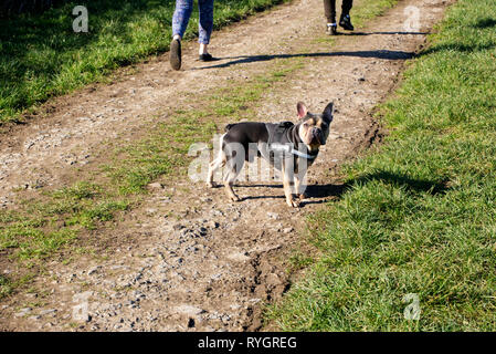 A French Bulldog briefly stopping from his walk in the Somerset countryside while his owners walking slightly ahead of him. - Stock Photo