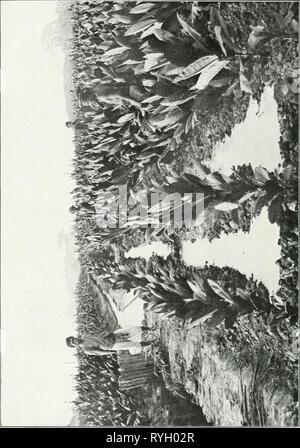 Dr. K.W. van Gorkom's Oost-Indische cultures. Opnieuw uitg. onder redactie van H.C. Prinsen Geerligs. [Door J.P. van der Stock et al.]  drkwvangorkomsoo03gorkuoft Year: 1917 - Stock Photo
