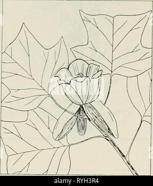 The drug plants of Illinois  drugplantsofilli44teho Year: 1951  74 ILLINOIS NATURAL HISTORY SURVEY Circular 44    LIRIODENDRON TULIPIFERA L. Tulip tree. Magnoliaceae.—A straight, narrow-crowned tree of great height; bark of the trunk thin and scaly or, later, 2 inches thick and deeply furrowed; leaves dark green, shiny, 5 to 6 inches long and as wide, with 2 large, pointed lobes on each side and a deep, wide notch at the end, alternate, petioled; flowers greenish-white, inwardly orange-marked, large, showy, re- sembling a tulip blossom; fruit conelike and scaly, 2]/^ to 3 inches long. Bark, ta - Stock Photo
