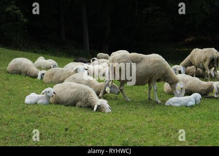 Sheeps feeding and resting on meadow - Stock Photo
