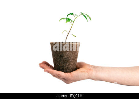 tomato plant in the hand isolated on white - Stock Photo