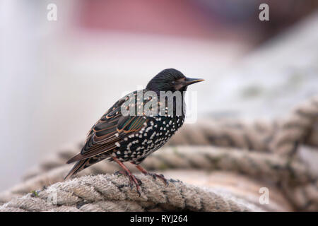 Common Starling, Sturnus vulgaris Single adult resting on ropes in harbour.  Seahouses, Northumberland, UK. - Stock Photo