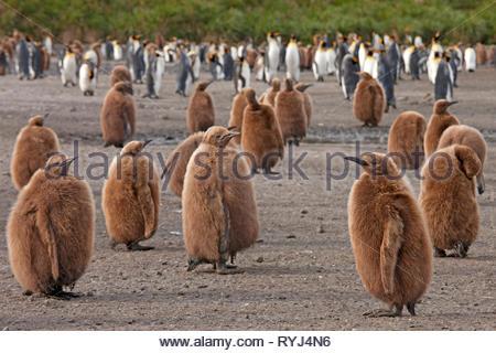King penguins (Aptenodytes patagonicus), juveniles with fluffy brown plumage , Salisbury Plain, Bay of Isles, South Georgia Island, Antarctic - Stock Photo