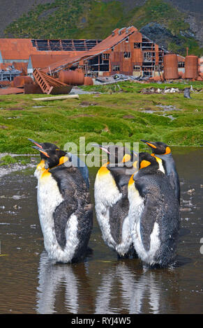 King penguins (Aptenodytes patagonicus), group at remainings of the abandoned Norwegian whaling station at Stromness Harbor, Stromness Bay - Stock Photo