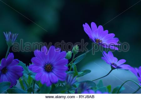 Purple flowers in a flowerbed. Natural picturesque dark background - Stock Photo