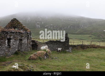 Dursey Island, Cork, Ireland. 18th June, 2016  A sheep and her lamb take shelter on  a wet day in the townland of Kilmichael on Dursey Island, Co. Cor - Stock Photo