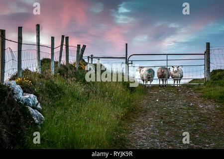 Dursey Island, Cork, Ireland. 18th June, 2016  Sheep behid a gate in the townland of Kilmichael on Dursey Island, Co. Cork, Ireland. - Stock Photo
