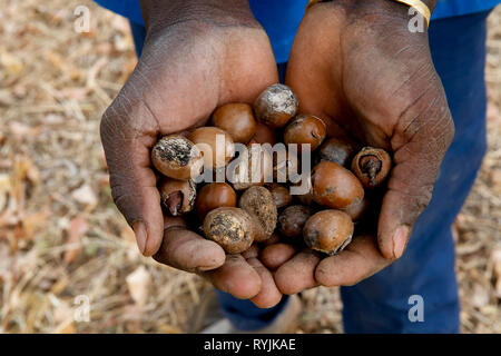 Man holding shea nuts in Ouahigouya, Burkina Faso. - Stock Photo