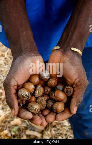 Man holding shea nuts in Ouahigouya, Burkina Faso. - Stock Photo