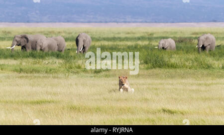 Young adult lioness in the lush green grasslands of Amboseli National Park, Kenya. A herd of elephants are walking behind her against the foothills of - Stock Photo