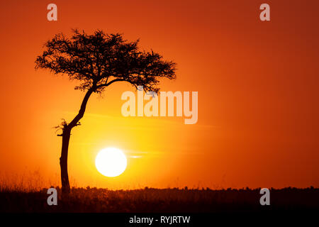 Acacia tree and the setting sun in the Masai Mara. Silhouette against orange sunset in Kenya, with space for text. - Stock Photo