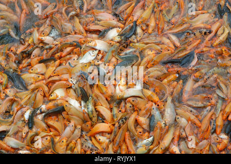 Hundreds of red fishs in water.  Chau Doc. Vietnam. - Stock Photo