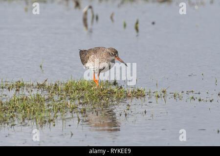 Redshank (Tringa totanus) foraging on flooded pasture land - Stock Photo