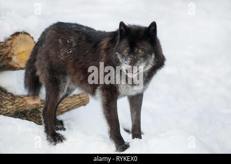 Wild black canadian wolf is standing on a white snow. Canis lupus pambasileus. Animals in wildlife. - Stock Photo