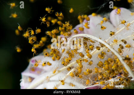 Cluster of Garden Spider (Araneus diadematus) web with spider babies. Andalusia, Spain. - Stock Photo