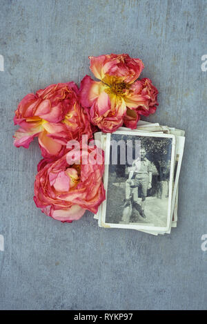 Three blown pink and cream flowerheads of Rose or Rosa Lovely Lady  viewed from above with vintage black and white photo of man in shorts in garden - Stock Photo