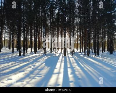 Sunrise in a winter forest. Tree trunks in the winter forest, long shadows on the snow. - Stock Photo