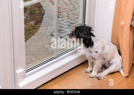Dog is sitting at rain on the glass door and is looking out - Stock Photo