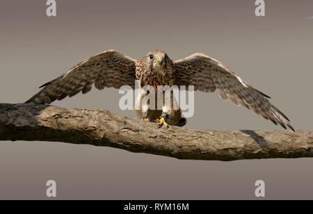 Common Kestrel (Falco Tinnunculus) (also known as the European or Eurasian Kestrel) - Stock Photo