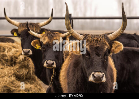 Heck cattle, cow and bulls on wintry pasture with open stablel - Stock Photo