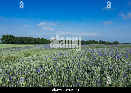 Grain field with many cornflowers, in the background a row of trees, bright blue sky with cirrus clouds - Stock Photo