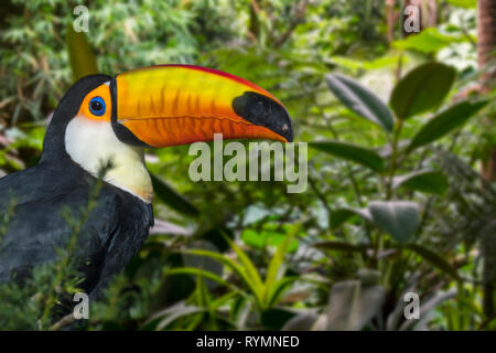 Toco toucan / common toucan / giant toucan (Ramphastos toco) perched in tree, native to South America - Stock Photo