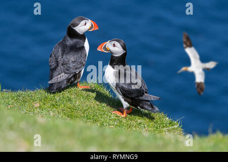 Two Atlantic puffins (Fratercula arctica) on sea cliff top and gannet flying by in seabird colony, Shetland Islands, Scotland, UK - Stock Photo