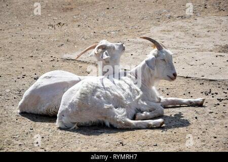 Capra hircus Couple of Goats on the Sun Sunbathing Portrait Domestic Animals  Stock Photo - Stock Photo