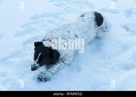 Cute black and white dog chewing piece of ice on a frozen lake during the sunset Selective focus - Stock Photo