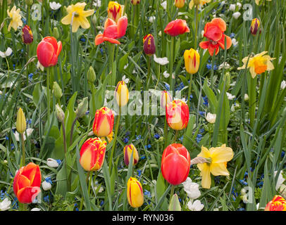 colorful tulips, daffodils and hyacinths blooming in a garden - Stock Photo