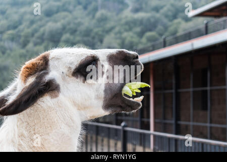 The llama is a domesticated South American came lid, widely used as a meat and pack animal and you can see in the picture how it is eating - Stock Photo