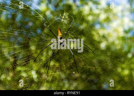 A large northern golden orb weaver or giant golden orb weaver spider Nephila pilipes typically found in Asia and Australia, lichtfield national park - Stock Photo