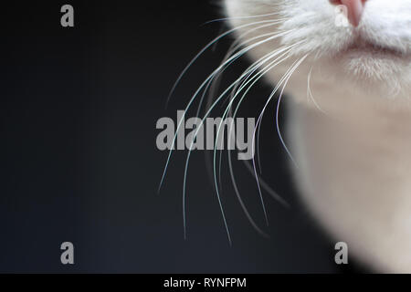 Close up of white cat whiskers on dark background - Stock Photo