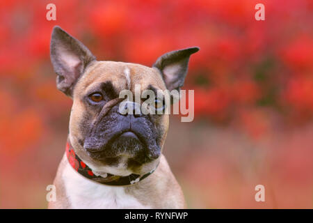 Portrait shot of head of a fawn French Bulldog dog with black mask and pointy ears in front of blurry red autumn background - Stock Photo