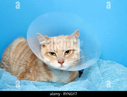 orange and white tabby cat wearing an elizabethian collar to prevent self injury after surgery. Also called the cone of shame. - Stock Photo
