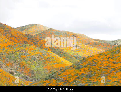 View of the hills along Walker Canyon in Lake Elsinore, Southern California exploding in orange poppy flowers, cloudy skies above. Super bloom. - Stock Photo