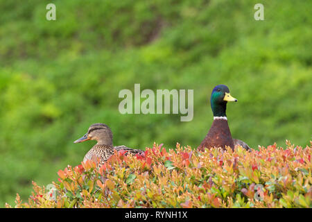 mallard ducks, male and female, heads poking up from behind a bush. The mallard is a common dabbling duck. - Stock Photo