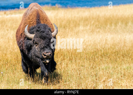 Alpha male bull Bison bleating after wining a challenge for dominance of heard - Stock Photo