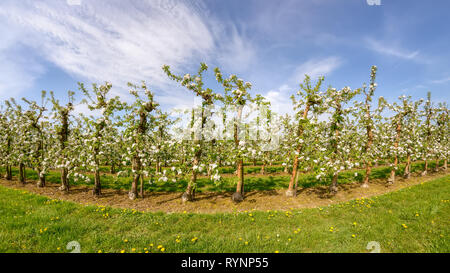 Apple tree plantation, rows of grafting trees during the fruit blooming period on a sunny day with blue sky in spring, Rhineland, NRW, Germany - Stock Photo